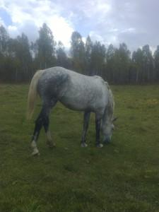 Лошадь - Уджей Красноярский край