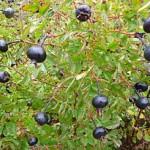 шиповник с черными плодами